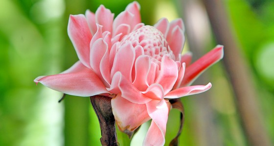 Torch Ginger Flower (Nicolaia elatior) found in the forests of Nias.