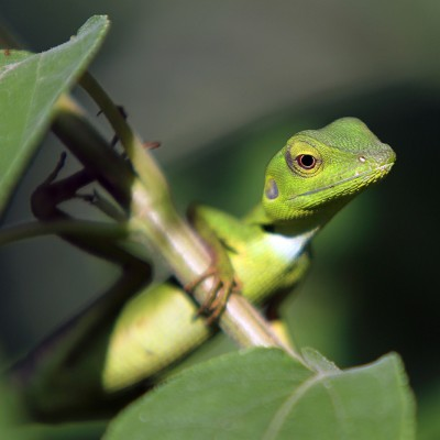 Green Crested Lizard (Bronchocela cristatella).