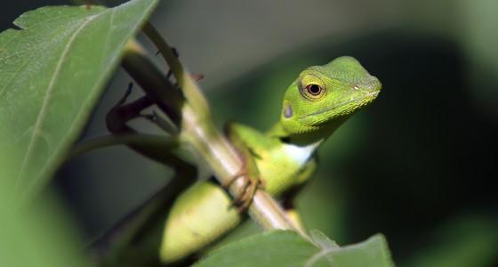 Green Crested Lizard (Bronchocela cristatella).