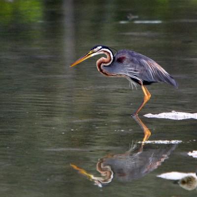 Purple Heron (Ardea purpurea), commonly seen in wetlands around Tureloto.