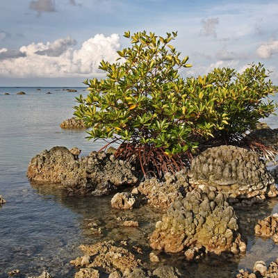 Mangrove on exposed coral reef due to uplift after 2005 earthquake. Tureloto, Lahewa sub-district, Nias Utara.