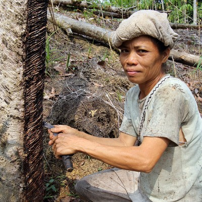 Many people in the interior of Nias make their living from selling rubber which is extracted by cutting groves in the Para Rubber Tree (Hevea brasiliensis).